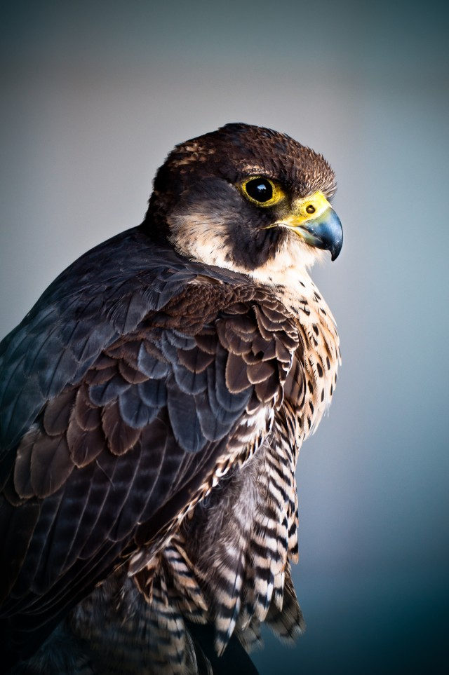 Bird of prey portrait